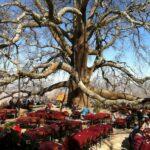 الشجرة التاريخية المعمرة